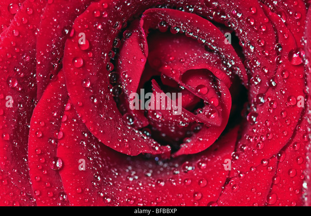 Rose bloom covered water drops closeup - Stock Image
