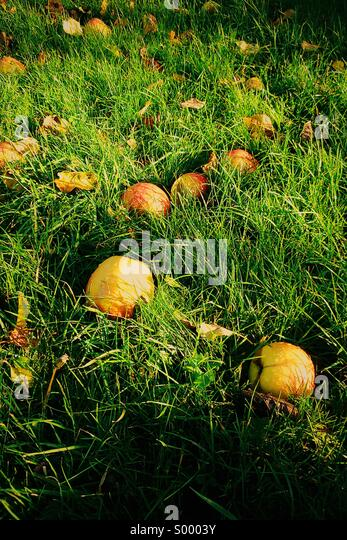Fallen apples in the grass - Stock Image