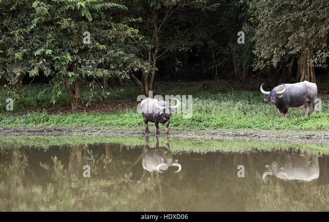 Wild water buffaloes in Kaziranga national park, Assam, India. - Stock Image
