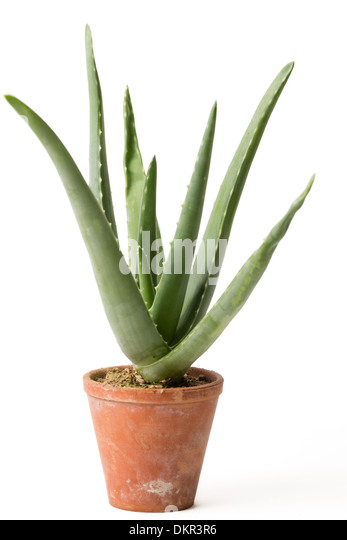 Aloes stock photos aloes stock images alamy - Aloe vera en pot ...