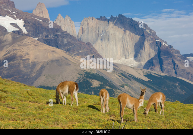 Guanaco (Lama Guanicoe), Torres del Paine National Park, Patagonia, Chile - Stock Image