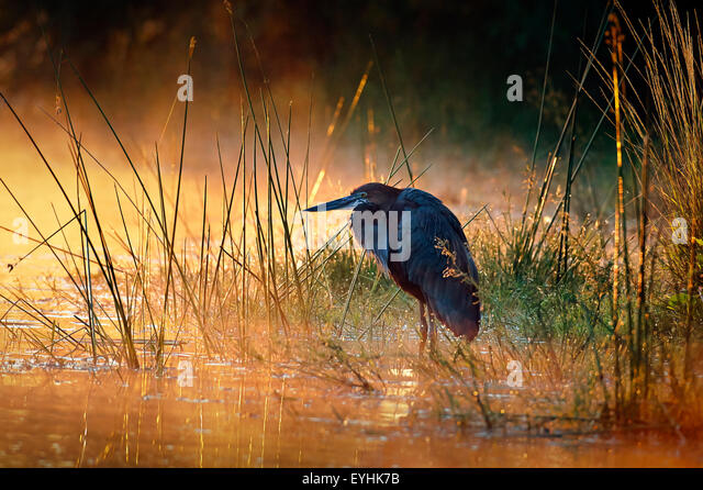 Goliath heron (Ardea goliath) with sunrise over misty river - Kruger National Park (South Africa) - Stock Image