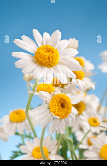 Macro shot of wild camomiles on a blue sky background. - Stock Image