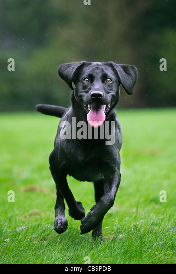 Black Labrador (Canis lupus familiaris) dog running and playing in garden in the rain - Stock Image
