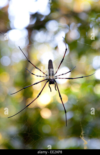 Spider in a web in Eugenella national park,Australia - Stock Image