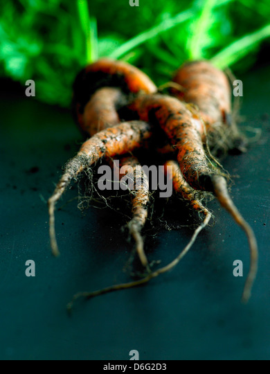 Organic carrots  with soil - Stock Image