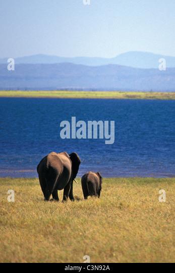 Zimbabwe. near Kariba. Lake Kariba. Elephant and young. - Stock Image