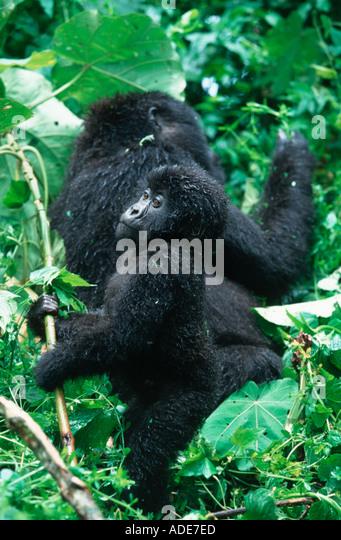 Mountain Gorilla Gorilla gorilla beringei Mother and young P N des Volcans Rwanda Rwanda Western Uganda Eastern - Stock Image