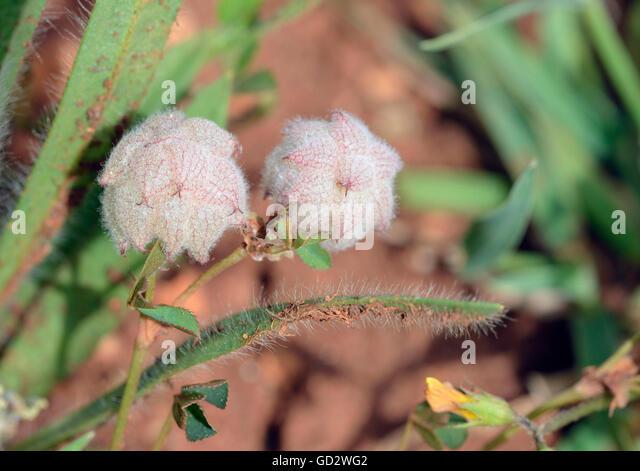 Reversed or Persian Clover - Trifolium resupinatum Small Mediterranean Flower - Stock Image