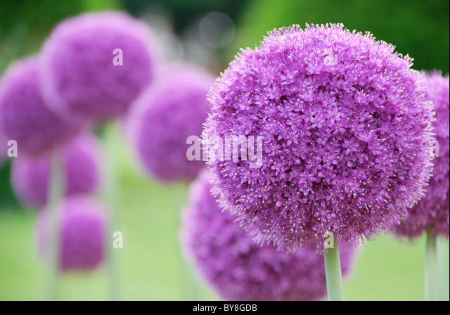 Purple Passion - Stock Image