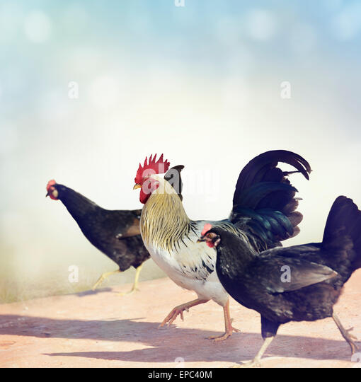 Rooster and Chickens Crossing A Sidewalk - Stock Image