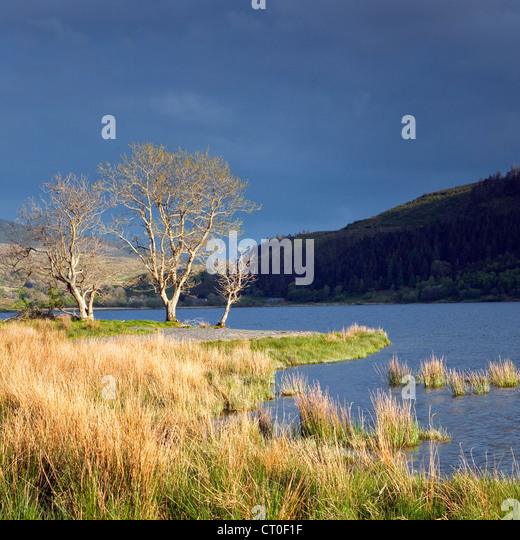 Trees lit by late evening light on the lake shore of Llyn Cwellyn in the Nant-y-Betws Valley, Snowdonia National - Stock Image
