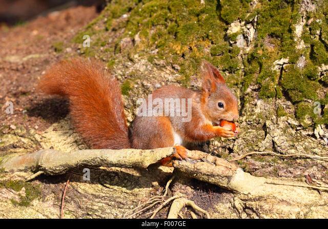 European red squirrel, Eurasian red squirrel (Sciurus vulgaris), with hazalnut in the paws, Germany - Stock Image