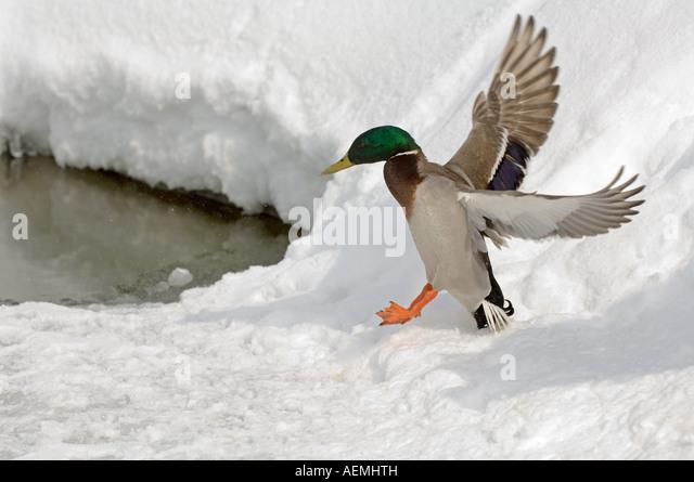 Mallard (Anas platyrhynchos). Drake landing in snow - Stock Image