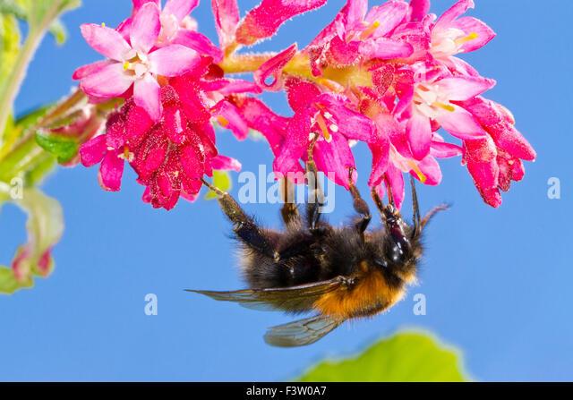 Tree Bumblebee (Bombus hypnorum) queen feeding on Red-flowering currant  (Ribes sanguineum) in a garden. Powys, - Stock-Bilder