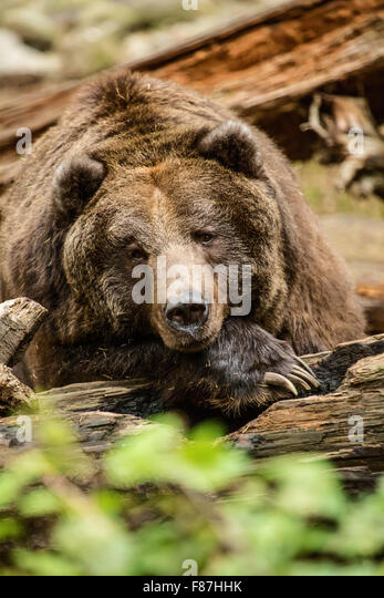 grizzly bear resting in - photo #2