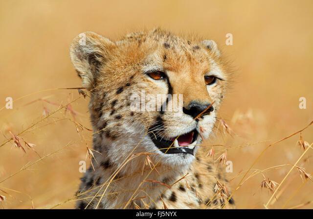 cheetah (Acinonyx jubatus), portrait, Kenya, Masai Mara National Park - Stock Image