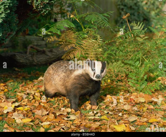 Badger Meles Meles United Kingdom Europe - Stock Image