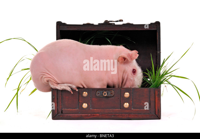 Skinny Cavy Sitting in a Trunk - Stock Image