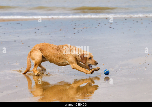 Yellow Labrador Playing with ball on the beach - Stock Image