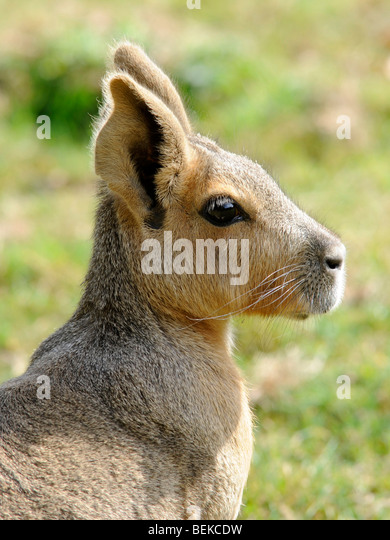 The head of a large rodent a capybara - Stock Image