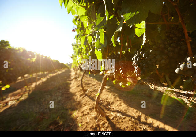 Black grapes on vines with bright sunlight on a summer day. Rows of vines bearing fruit in vineyard with sun flare. - Stock Image