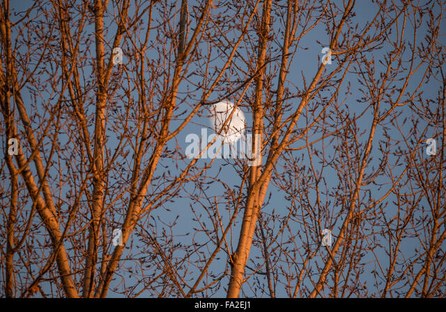 Moon peaking through Autumn Trees in the fall, Boise, Idaho, USA - Stock Image