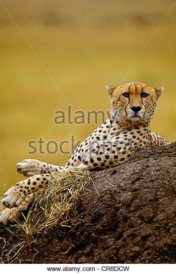 Cheetah lying on dirt hill - Stock Image