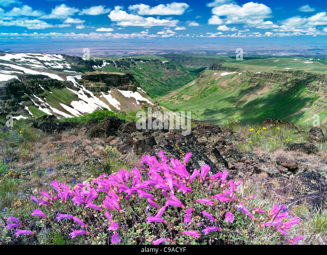 Penstemon and Little Blitzen Gorge. Steens Mountain Wilderness, Oregon - Stock Image