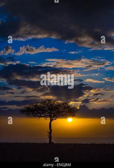 Umbrella Thorn Acacia At Sunset, Rift Valley Province, Maasai Mara, Kenya - Stock Image