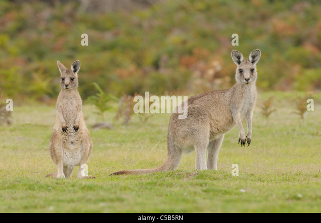 Eastern Grey (Forester) Kangaroo Macropus giganteus Female and large joey Photographed in Tasmania, Australia - Stock Image