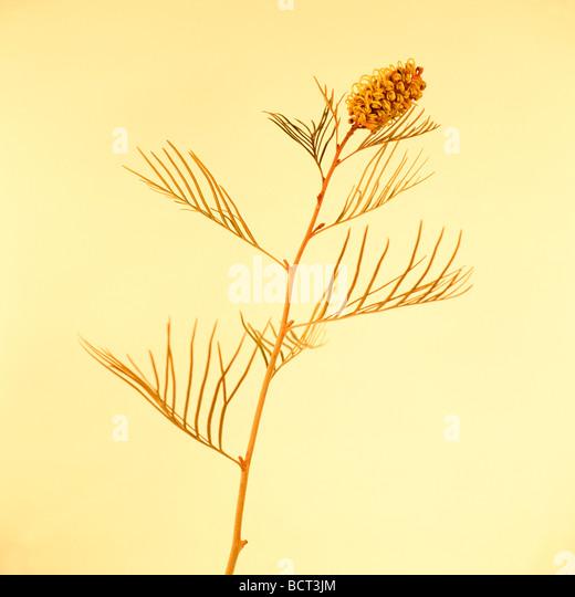 minimal still life of protea native to australia fine art photography Jane Ann Butler Photography JABP348 - Stock Image