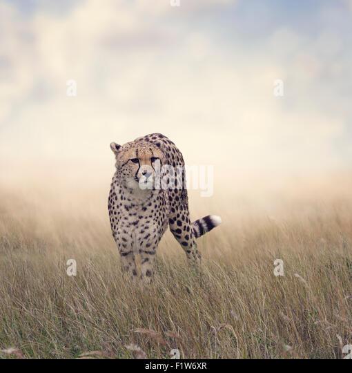 Cheetah Walking in The Grassland - Stock-Bilder
