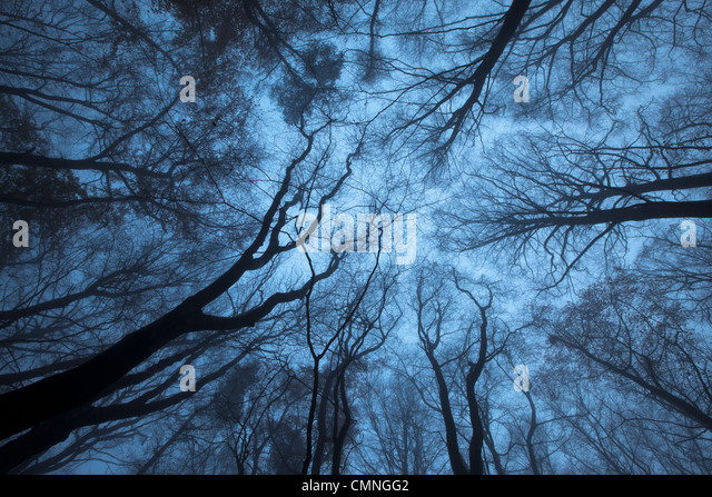 Looking up through a Beech wood canopy (Fagus sylvatica) in winter, Peak District National Park, Derbyshire, UK. - Stock Image