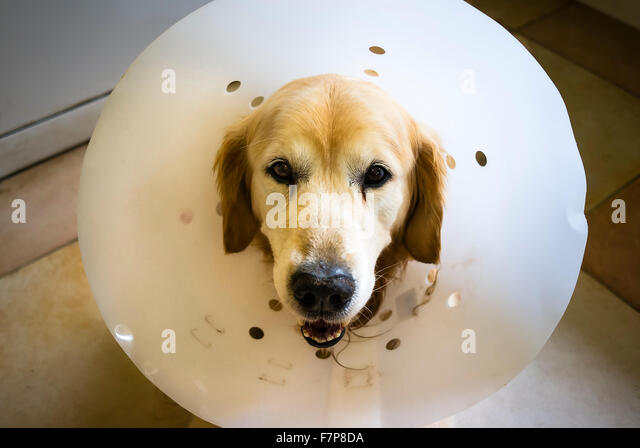 Golden Retrieve dog wearing a big collar to prevent aggravation of a healing surgical operation - Stock Image
