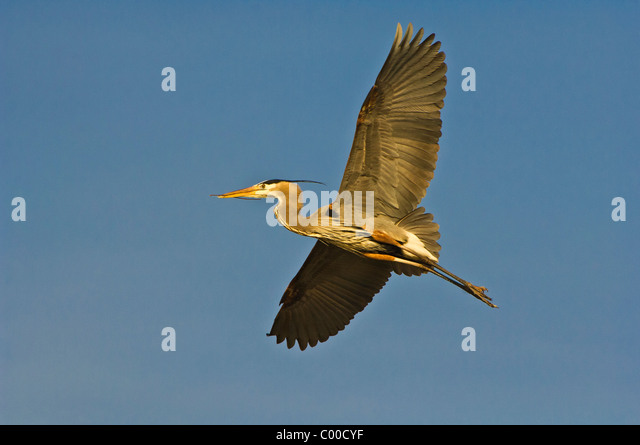 A Great Blue Heron soars against a plain blue sky - Stock Image