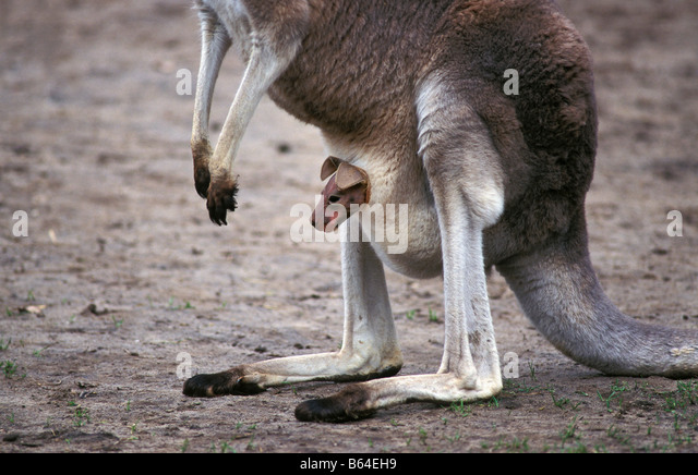 Holland, The Netherlands, Emmen. Zoo: Noorder Dierenpark. Western grey kangaroo. (macropus fuliginosos). - Stock Image