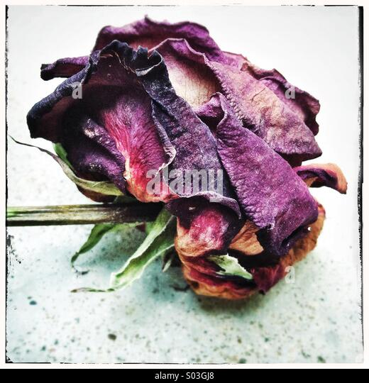 Dried and withered red rose - Stock Image
