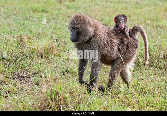 Female Olive Baboon carrying a baby on her back through grassland in Lake Nakuru National Park Kenya East Africa - Stock Image