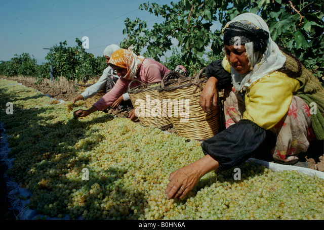 Turkish women wearing traditional costume, harvesting grapes at a vineyard, Turkey. - Stock Image