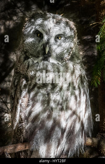 Grey Owl - Stock Image