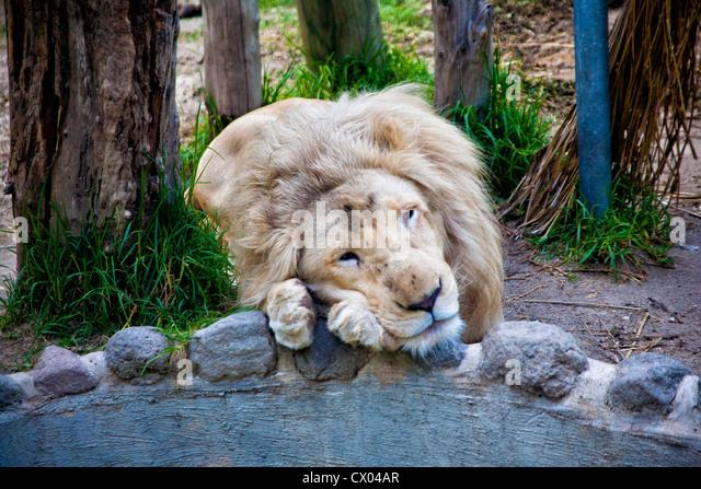 Lion in Parque Loro Zoo in Puebla, Mexico - Stock Image