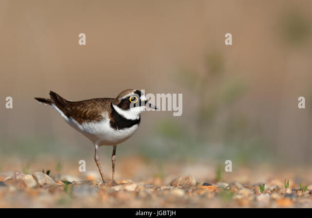 Little ringed plover (Charadrius dubius), in the biotope, Biosphere Reserve Middle Elbe, Saxony-Anhalt, Germany - Stock Image