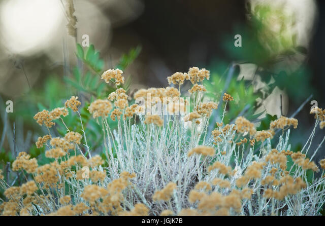 Yellow little flowers on a blurred background - Stock Image