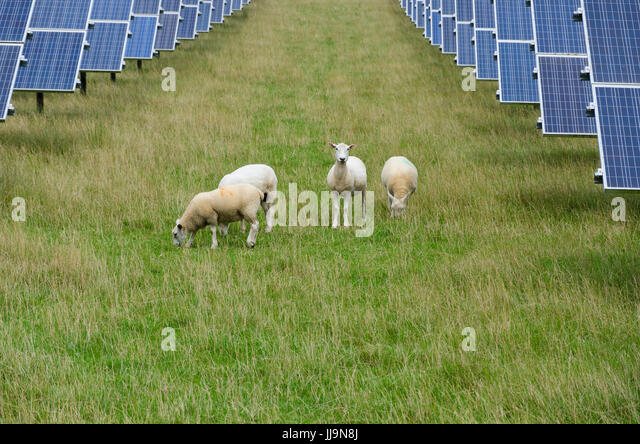 Rural scene sheep grazing in a field with a solar panels installation. Modern diverse farming business. - Stock Image