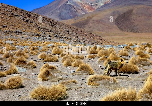 Wild fox near the shore of the Laguna Canapa, Southwest Highlands, Bolivia, South America - Stock-Bilder