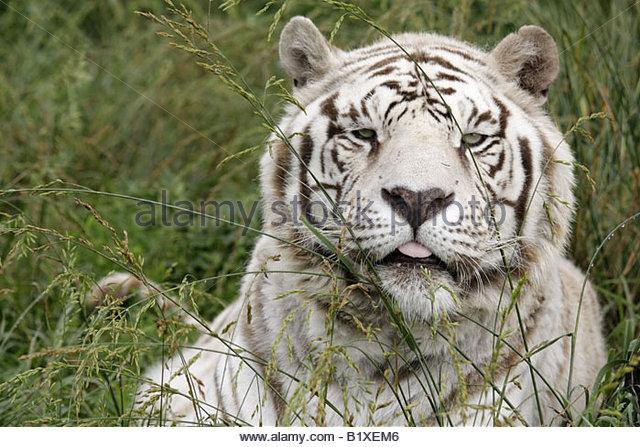 Arkansas Eureka Springs Turpentine Creek Wildlife Refuge rescuing exotic wild cats open habitat cage white tiger - Stock Image