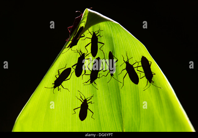 Cotton Stainer Insect Species on Leaf at Corkscrew Swamp Sanctuary - Naples, Florida USA - Stock Image