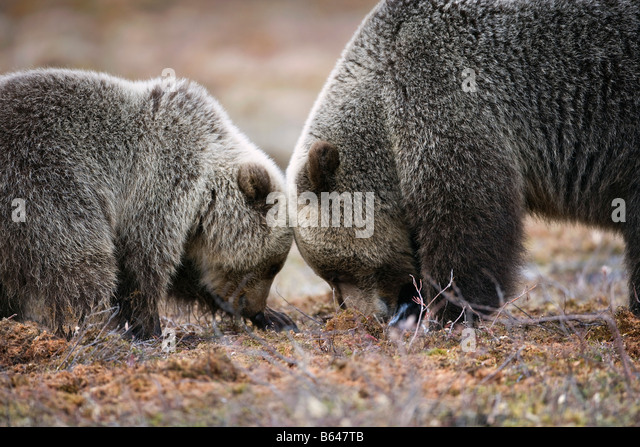 Finland, Ruhtinansalmi, near Suomussalmi, Brown bear. Ursus arctos. Mother and cub. - Stock Image