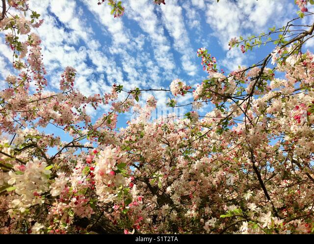 Tree blossoms with cloud formations - Stock Image